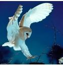 Barn Owl, Heye Puzzel 1000stukjes